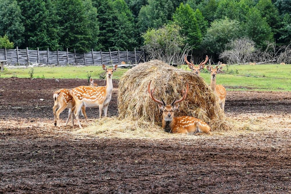 маралы олени Дикая ферма